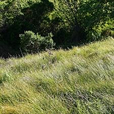 Carex praegracilis  field sedge, clustered field sedge