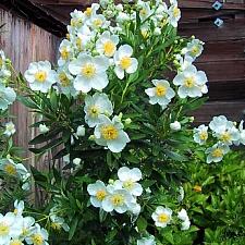 Carpenteria californica 'Elizabeth' California bush anemone