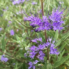 Caryopteris  'Dark Knight' blue beard