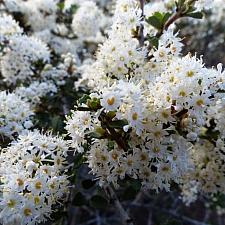 Ceanothus rigidus 'Snowball' Monterey lilac