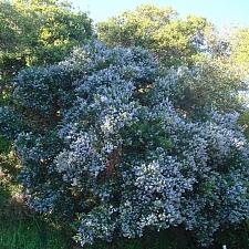 Ceanothus thyrsiflorus  blue blossom