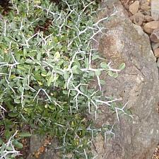 Ceanothus cordulatus  mountain whitethorn
