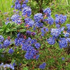 Ceanothus  'Dark Star' California lilac