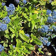 Ceanothus  'Joyce Coulter' California lilac