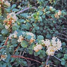 Ceanothus maritimus 'Popcorn' Santa Barbara ceanothus