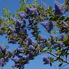 Ceanothus  'Ray Hartman' California lilac