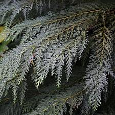 Chamaecyparis lawsoniana  Lawson's cypress