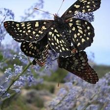 Ceanothus parryi  Parry's ceanothus, ladybloom