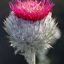 Cirsium occidentale  cobweb thistle