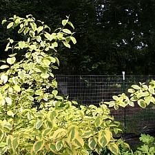 Cornus sericea 'Hedgerow's Gold' redtwig dogwood