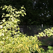 Cornus sericea 'Hedgerow's Gold' redtwig dogwood