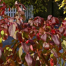 Cornus sericea ssp. occidentalis  western redtwig dogwood