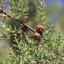 Hesperocyparis macnabiana  MacNab cypress