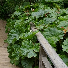 Darmera peltata  umbrella plant, indian rhubarb