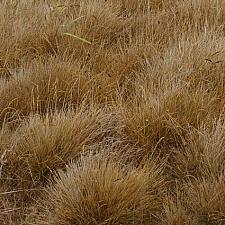 Deschampsia cespitosa ssp. holciformis  coastal hairgrass