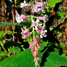 Ribes malvaceum 'Dancing Tassels' chaparral currant