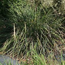 Carex spissa  San Diego sedge