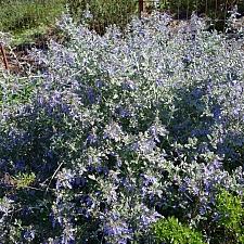 Teucrium fruticans 'Azureum' bush germander