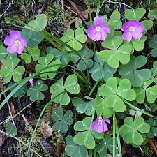 Oxalis oregana  redwood sorrel