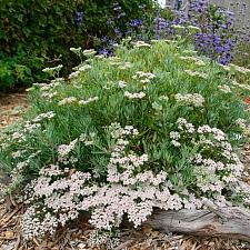 Eriogonum  arborescens  Santa Cruz Island buckwheat