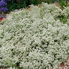 Eriogonum fasciculatum 'Warriner Lytle' California buckwheat