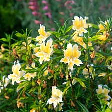 Mimulus  'Eleanor' monkeyflower