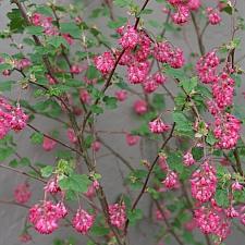 Ribes sanguineum v. sanguineum 'Elk River Red' red flowering currant