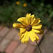 Encelia californica 'El Dorado' bush sunflower