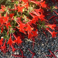 Epilobium canum 'Everett's Choice' California fuchsia