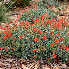 Zauschneria species  California fucshia