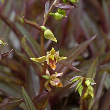 Epipactus gigantea 'Serpentine Night' stream orchid