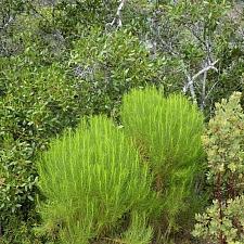 Ericameria arborescens  goldenfleece