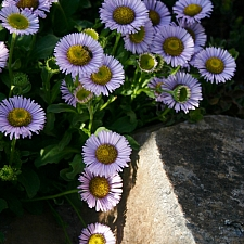 Erigeron glaucus 'Bountiful' seaside daisy
