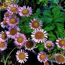 Erigeron glaucus 'Ron's Pink' seaside daisy