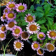 Erigeron glaucus 'Ron's Pink' pink seaside daisy