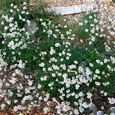 Eriogonum nudum  naked buckwheat