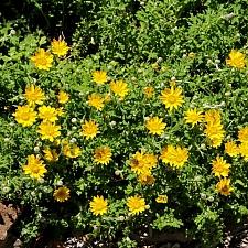 Eriophyllum lanatum 'Horseshoe Cove' woolly sunflower