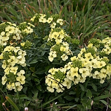 Erysimum concinnum  Point Reyes wallflower
