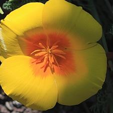 Eschscholzia californica var. maritima  California poppy coastal form