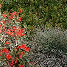 Festuca idahoensis 'Muse Meadow' Idaho fescue