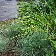 Festuca idahoensis 'Stony Creek' Idaho fescue