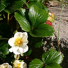 Fragaria chiloensis 'Green Pastures' beach strawberry
