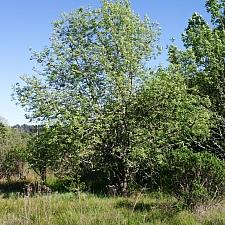 Fraxinus latifolia  Oregon ash