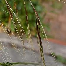 Stipa (Nassella) pulchra  purple needlegrass