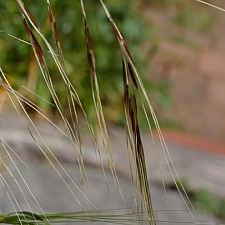 Stipa (Nassella) pulchra  purple needlegrass