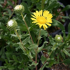 Grindelia hirsutula  hairy gum plant
