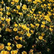 Grindelia stricta var. platyphylla 'Mendocino' spreading gum plant