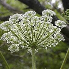 Heracleum lanatum  cow parsnip