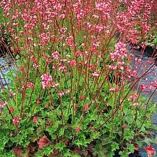 Heuchera  'Lillian's Pink' coral bells