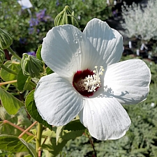 Hibiscus lasiocarpus var. occidentalis (californicus)  woolly rose mallow